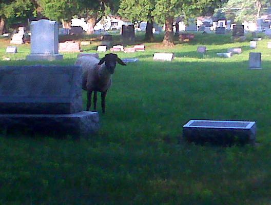 cemetary sheep 1